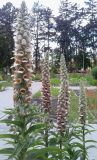Digitalis lanata, fot. 17.06.2016