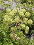 Angelica archangelica, fot. 01.06.2015