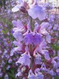 Salvia officinalis, fot. 01.06.2015