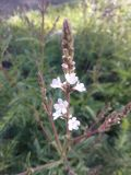 Verbena officinalis, fot. 10.06.2015