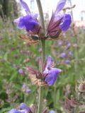 Salvia officinalis, fot. 25.05.2015