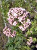 Valeriana officinalis, fot. 22.05.2015